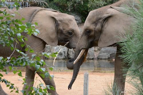 Afrikanische Elefanten Bou Bou und Boten im Zoo de La Flèche