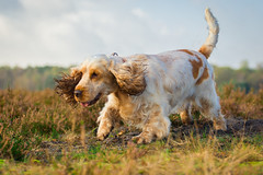 field spaniel(0.0), brittany(0.0), hunting dog(0.0), french spaniel(0.0), dog breed(1.0), animal(1.0), english setter(1.0), dog(1.0), welsh springer spaniel(1.0), pet(1.0), spinone italiano(1.0), irish setter(1.0), setter(1.0), english cocker spaniel(1.0), spaniel(1.0), carnivoran(1.0),