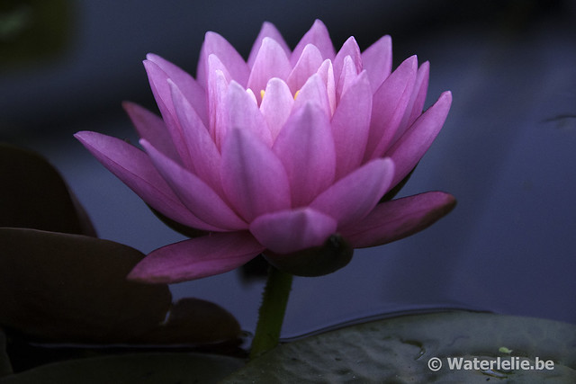 Waterlelie Perry's Super Rose / Nymphaea Perry's Super Rose