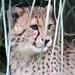 Port Lympne: Cheetah cub
