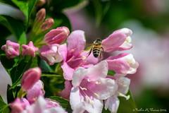 Weigela and bee