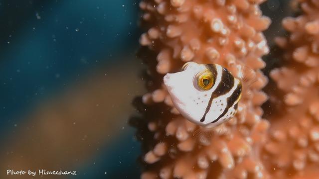 シマイソギンチャクフグ幼魚