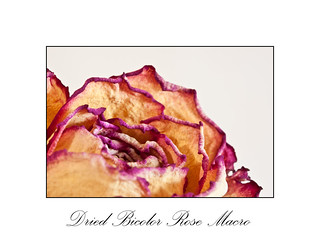 Dried Rose Macro