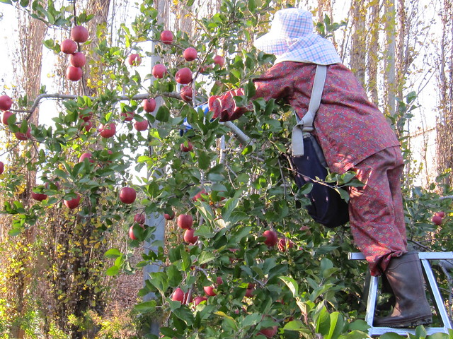 Apple harvest 2014
