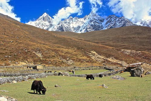 scenic Yaks graze on some of the first greenery we've seen in over a week