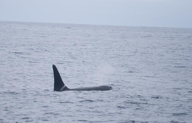 offshore ecotype killer whale
