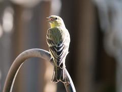 P2460195.jpg Lesser Goldfinch (Carduelis psaltria)