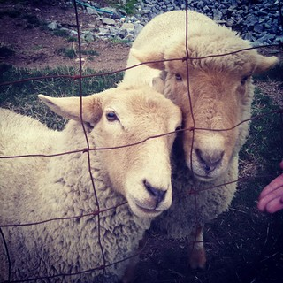 Getting my sheep fix and cider donuts! #farmstand #appleorchard #sheep #farmanimals #fall #newhampshire #love