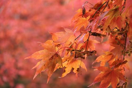 Acers in orange