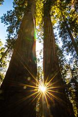 Setting Sun through Giant Sequoia 2