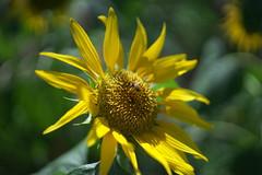 Sunflower - Showa Memorial Park, Tokyo