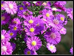 garden cosmos(0.0), marguerite daisy(0.0), chrysanths(0.0), dorotheanthus bellidiformis(1.0), aster(1.0), annual plant(1.0), flower(1.0), plant(1.0), flora(1.0), petal(1.0),