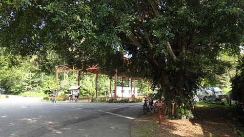 Huge Banyan Tree next to the Assembly Area, Pulau Ubin