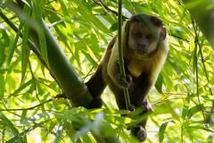 tufted capuchin (Cebus apella)
