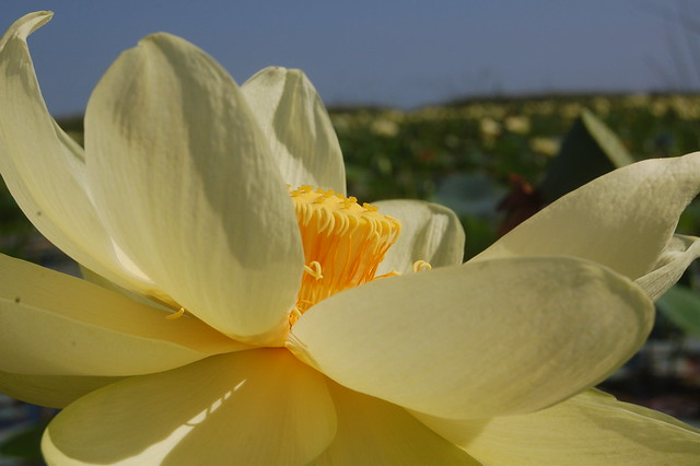 Header of American lotus
