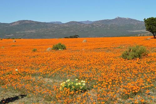 Namaqua Daisy & Conicosia elongata