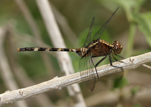 insect texas dragonfly mission animalia arthropoda arthropod odonata insecta missiontexas pintailedpondhawk erythemisplebeja nationalbutterflycenter