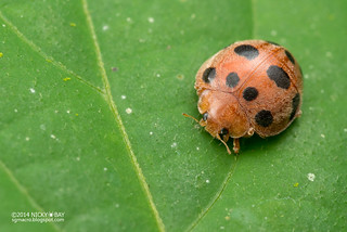 Ladybird (Coccinellidae) - DSC_9187