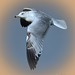 Inland Gull 7a
