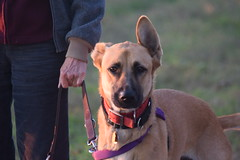 puppy(0.0), street dog(0.0), dog breed(1.0), animal(1.0), broholmer(1.0), dog(1.0), pet(1.0), mammal(1.0), black mouth cur(1.0),
