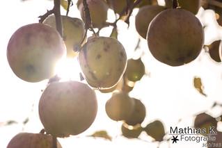 Die letzten Äpfel | Projekt 365 | Tag 300