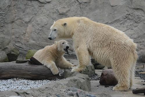 Eisbären Valeska und Lale im Zoo am Meer