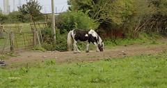 Horses of Cheshire