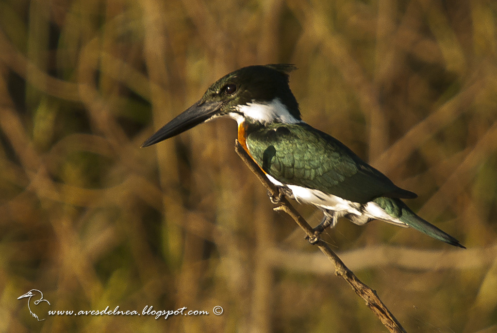 Martín pescador mediano, Amazon kingfisher, Chloroceryle amazona