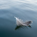 Small photo of Feather Afloat