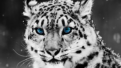 monochrome photography(0.0), monochrome(0.0), animal(1.0), snow leopard(1.0), big cats(1.0), leopard(1.0), tiger(1.0), mammal(1.0), jaguar(1.0), fauna(1.0), close-up(1.0), whiskers(1.0), black-and-white(1.0),