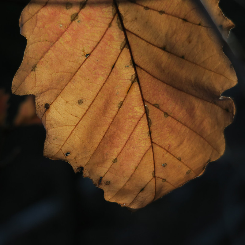 Chestnut oak leaf