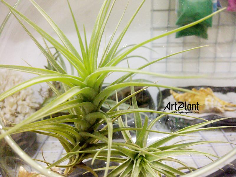 art plant | cay khong khi | tieu canh khong khi | terrarium | khong khi thach thao