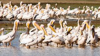 Pelicans, Lake Manyara National Park, Tanzania