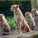 Cheetahs on the lookout by Foto Martien