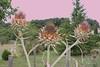 20140728_0349-artichokes-sky-recoloured-1