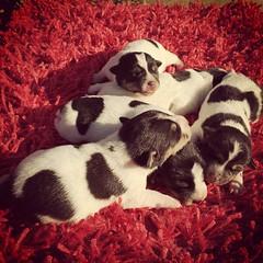 #jackrussel  nati il 23 ottobre pronti per Natale vendo con pedigree  prenotabili da subito :3407675319