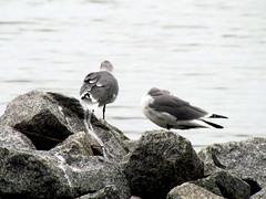 Sea Gull Harkers Island NC 3751