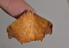 # 6797 – Ennomos magnaria – Maple Spanworm Moth
