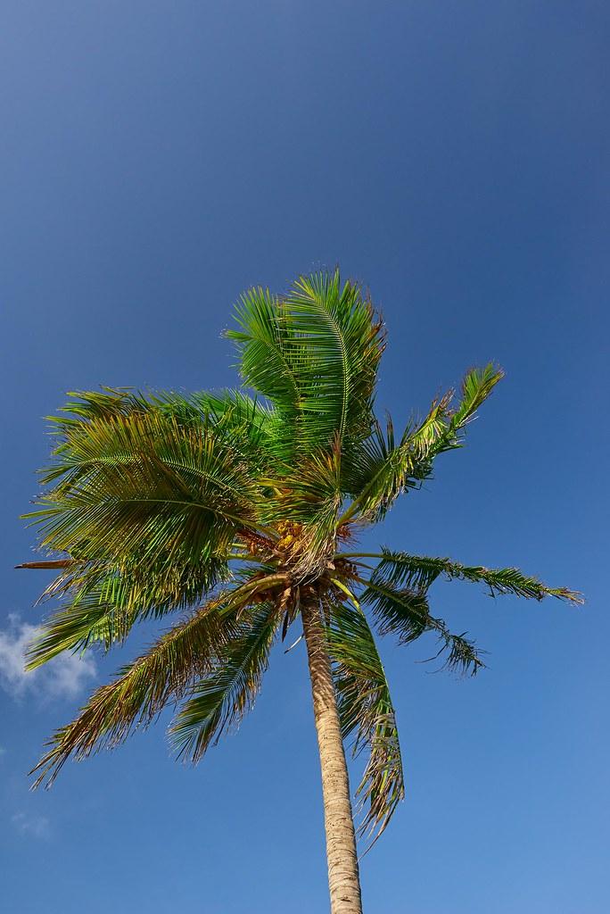 Palm - Belize