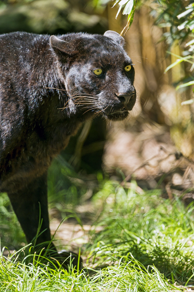 Walking black leopard
