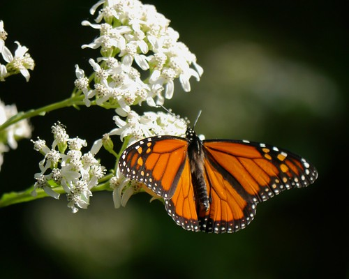 Monarch on Frostweed - 2