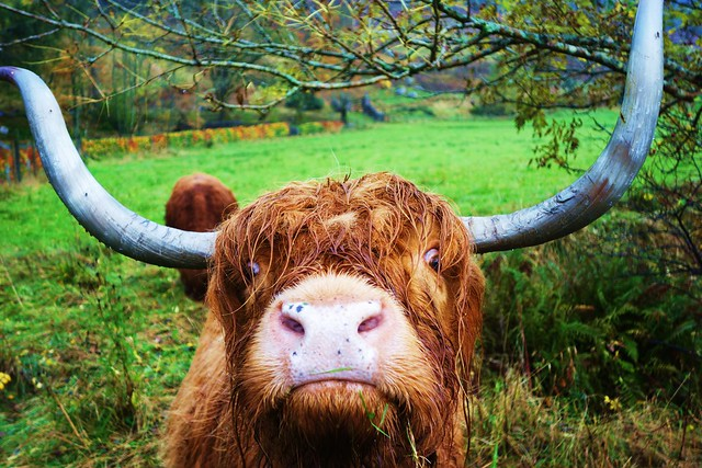 Highland Cow, Trossachs, Scotland