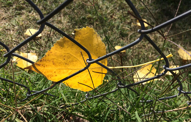Leaf Caught in Fence 2