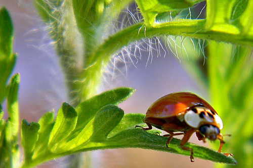 Common Ragweed and a Beetle