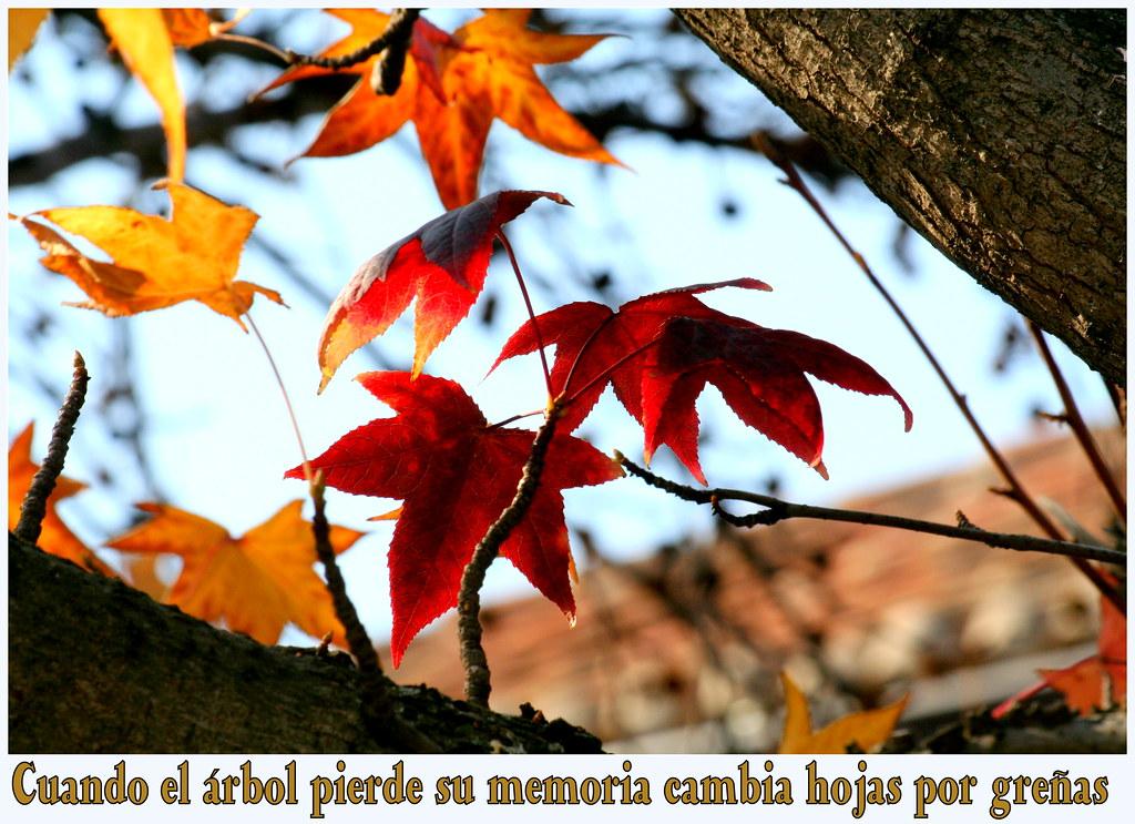 Liquidámbar en otoño