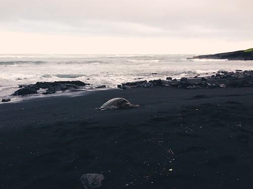 hawaii turtle bigisland plage tortue iphone punaluublacksandbeach sablenoir iphonography vscocam