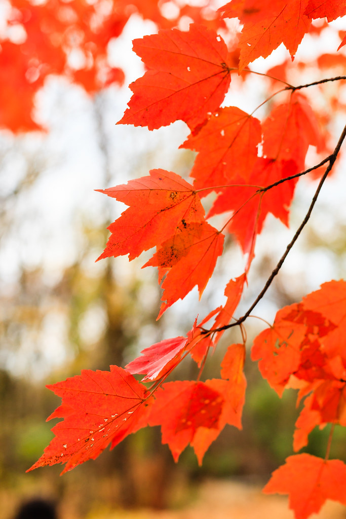 Red maple in autumn [Flickr]