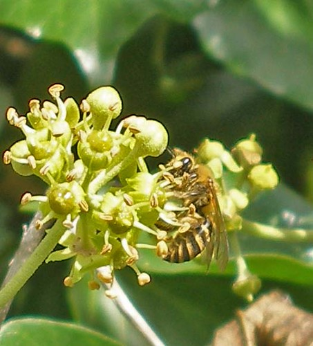 Ivy bee on ivy