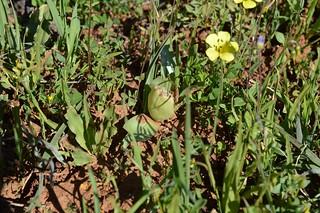 Androcymbium(Colchicum) ciliolatum アンドロキンビウム キリオラツム