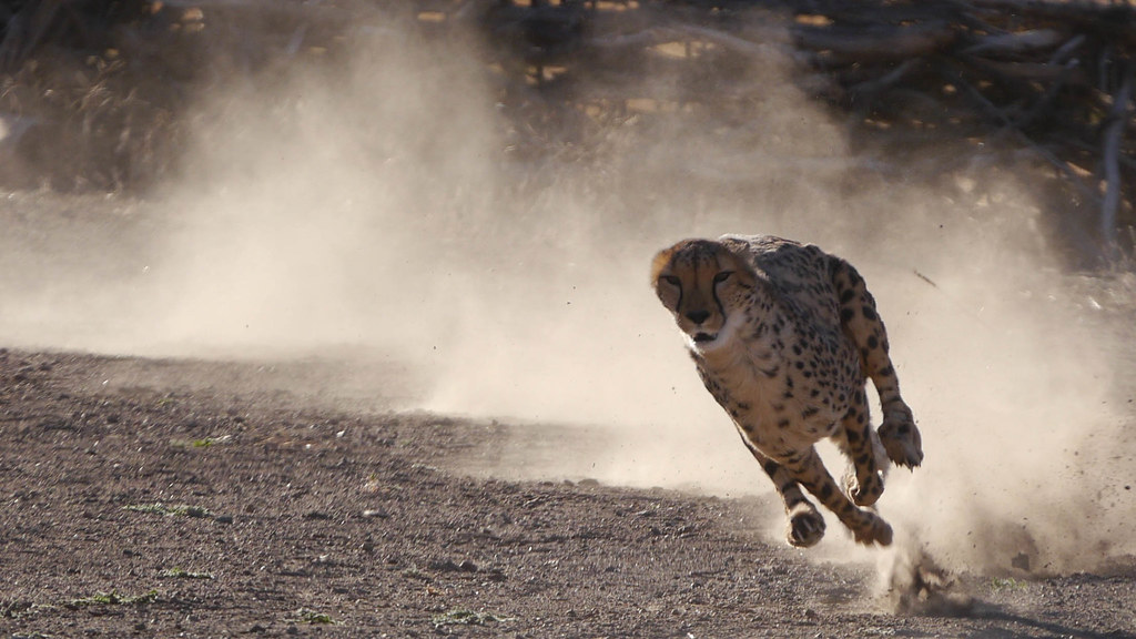 Cheetah running 50mph